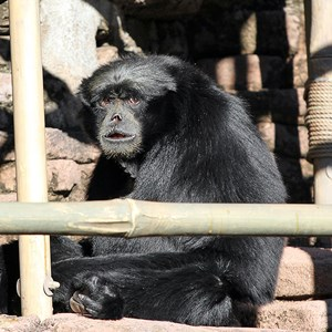 1 of 2: Asia - Siamang gibbons at the Siamang Temple