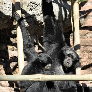 2 of 2: Asia - Siamang gibbons at the Siamang Temple