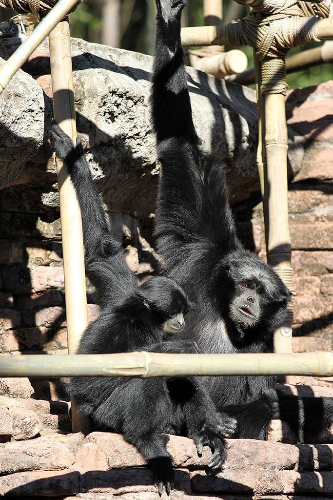 Siamang gibbons at the Siamang Temple