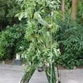 Bamboo - Bamboo at Disney's Animal Kingdom