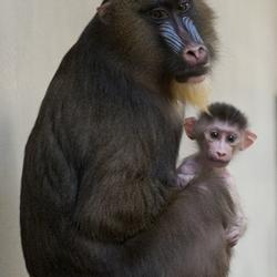 Male baby mandrill born at Disney's Animal Kingdom