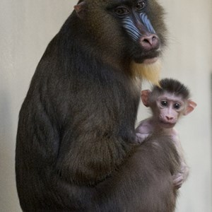 1 of 1: Kilimanjaro Safaris - Male baby mandrill born at Disney's Animal Kingdom
