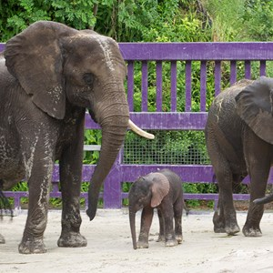1 of 1: Kilimanjaro Safaris - Elephant birth at Animal Kingdom