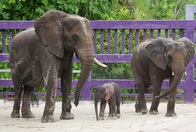Elephant birth at Animal Kingdom