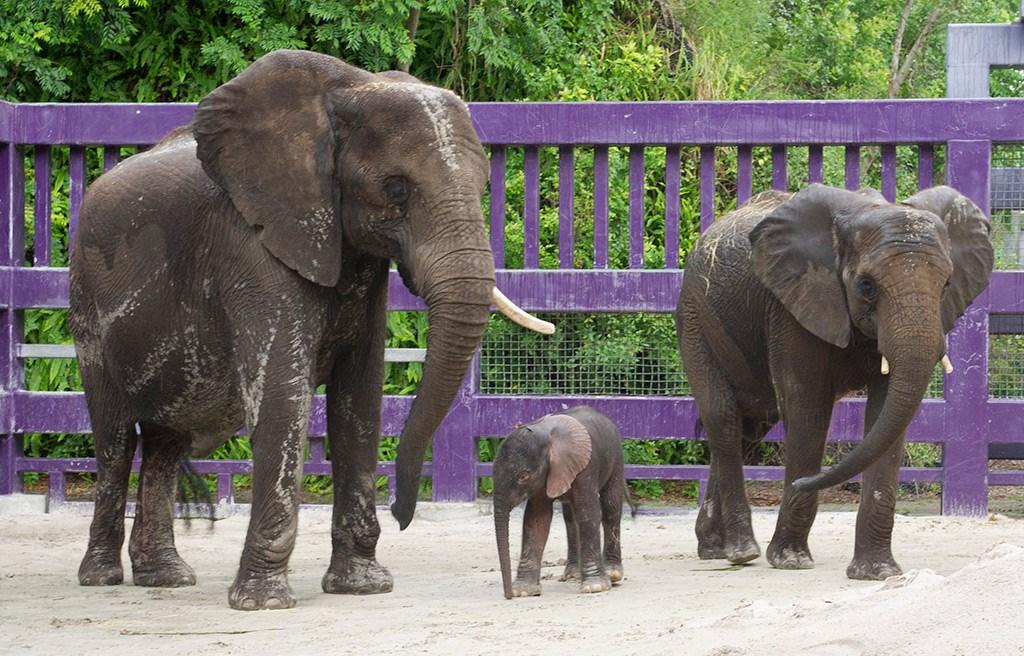 Elephant birth at Animal Kingdom