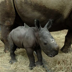 1 of 1: Kilimanjaro Safaris - White Rhinoceros birth at Disney's Animal Kingdom