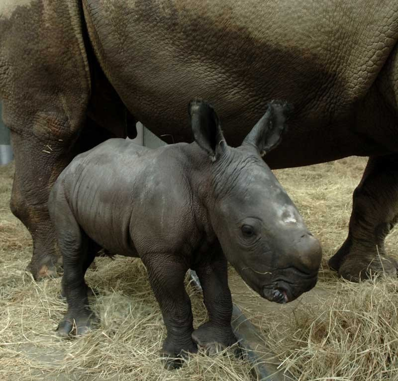 White Rhinoceros birth at Disney's Animal Kingdom