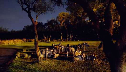 VIDEO - Take a full ride through on Kilimanjaro Safaris After Dark