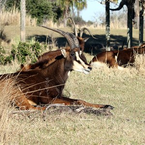 1 of 2: Kilimanjaro Safaris - Kilimanjaro Safaris animals - Sable Antelope