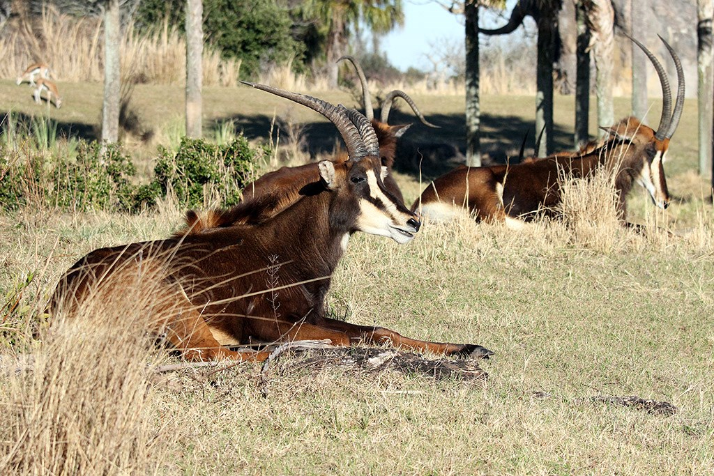 Kilimanjaro Safaris animals - Sable Antelope