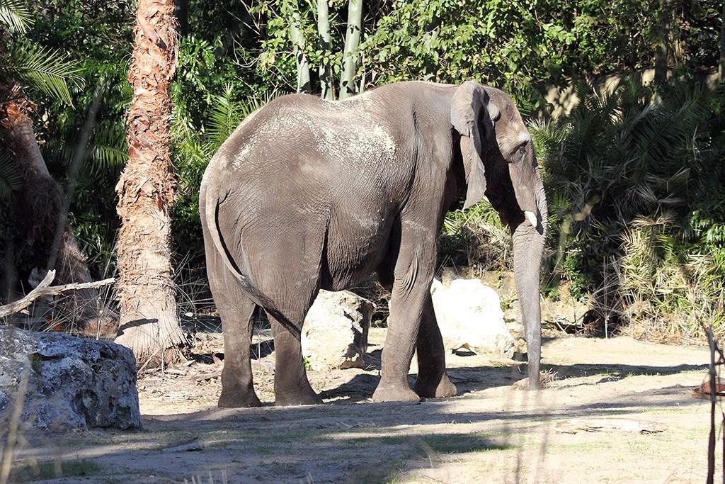 Kilimanjaro Safaris animals - African Elephant