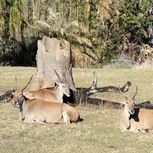 1 of 1: Kilimanjaro Safaris - Kilimanjaro Safaris animals - Greater Kudu
