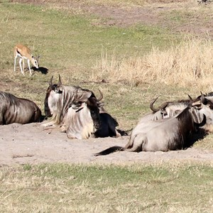 1 of 1: Kilimanjaro Safaris - Kilimanjaro Safaris animals - White-bearded Wildebeest