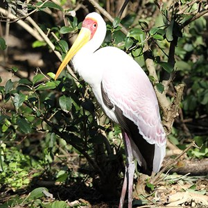 1 of 1: Kilimanjaro Safaris - Kilimanjaro Safaris animals - Yellow-billed Stork