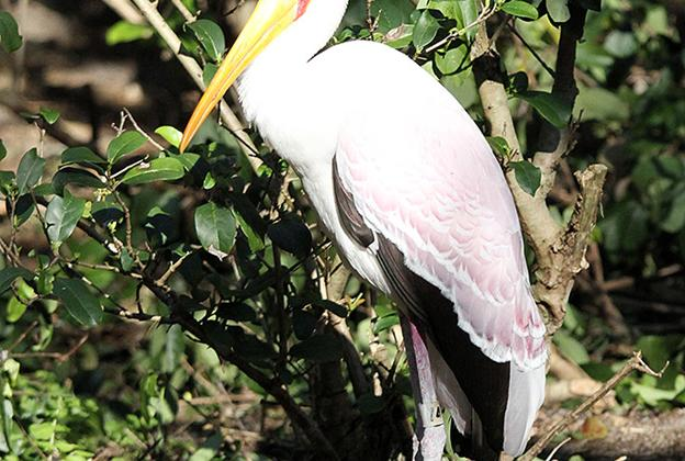 Kilimanjaro Safaris animals - Yellow-billed Stork