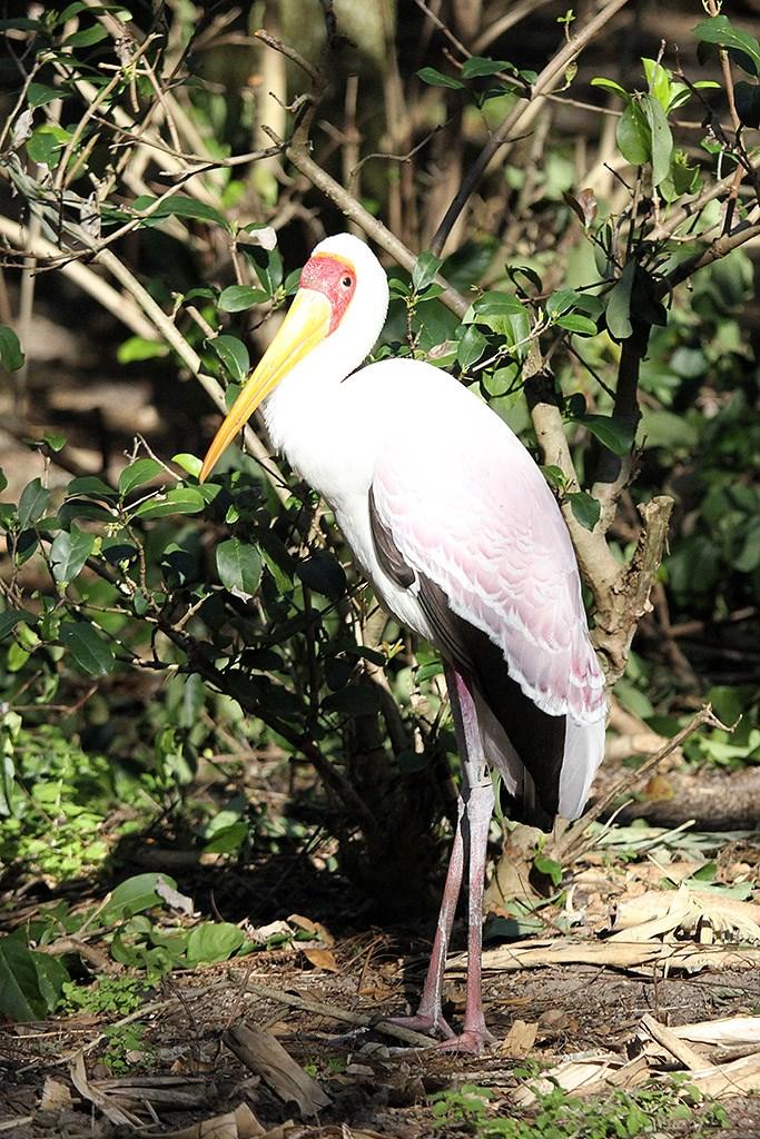 Kilimanjaro Safaris animals - Yellow-billed Stork