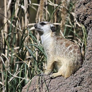 2 of 8: Pangani Forest Exploration Trail - Meerkats
