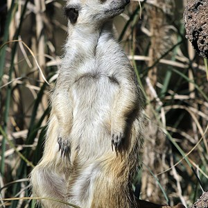 3 of 8: Pangani Forest Exploration Trail - Meerkats