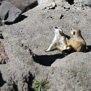 6 of 8: Pangani Forest Exploration Trail - Meerkats