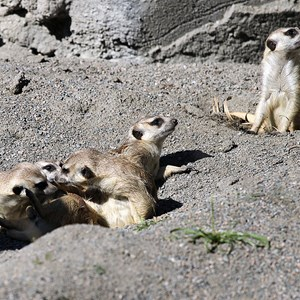 7 of 8: Pangani Forest Exploration Trail - Meerkats