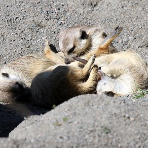 8 of 8: Pangani Forest Exploration Trail - Meerkats