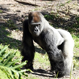 1 of 2: Pangani Forest Exploration Trail - Gorillas