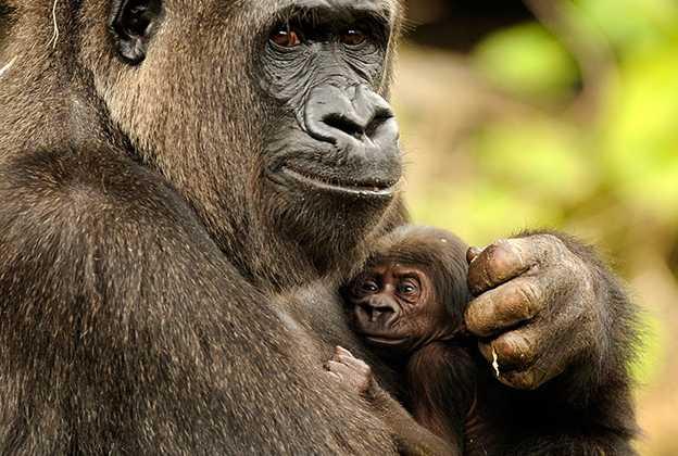 New born gorilla - Lilly