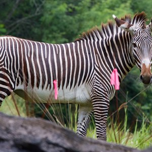 1 of 4: Pangani Forest Exploration Trail - Grevy's zebra at Pangani Forest Exploration Trail