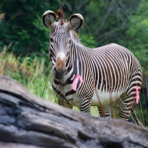 2 of 4: Pangani Forest Exploration Trail - Grevy's zebra at Pangani Forest Exploration Trail
