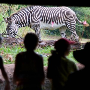 4 of 4: Pangani Forest Exploration Trail - Grevy's zebra at Pangani Forest Exploration Trail
