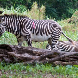 3 of 4: Pangani Forest Exploration Trail - Grevy's zebra at Pangani Forest Exploration Trail