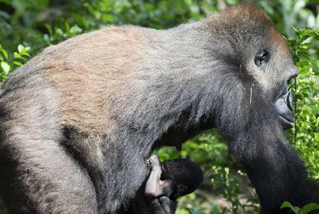 Gorilla born at Disney's Animal Kingdom