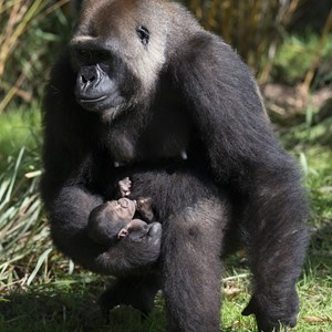 2 of 2: Pangani Forest Exploration Trail - Gorilla born at Disney's Animal Kingdom
