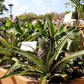 Epcot International Flower and Garden Festival - Pineapple plants at the Rainbird Irrigation display