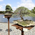 Epcot International Flower and Garden Festival - Bonsai Garden at the Japan pavilion
