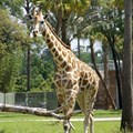 Disney&#39;s Animal Kingdom Villas - One of the Sunset Savannah residents.