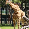 Disney&#39;s Animal Kingdom Villas - A giraffe on Sunset Savannah as seen from the Kidani Village overlook.