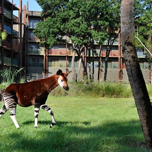 1 of 1: Disney's Animal Kingdom Lodge - Kidani Village - Kidani Village Pembe Savanna featuring Okapi