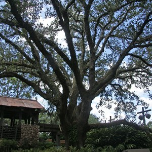10 of 10: Disney's Port Orleans Resort Riverside - The Ol' Man Island giant live oak