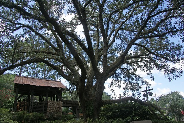 Disney's Port Orleans Resort Riverside - The Ol' Man Island giant live oak